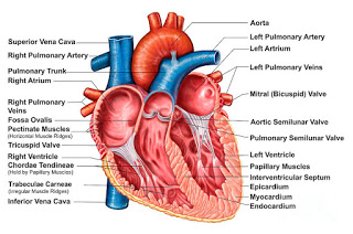anatomy-of-heart-interior-frontal-stocktrek-images